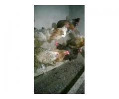 Продаю домашних кур