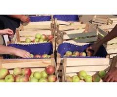 Сортировщик яблок (ВАХТА)